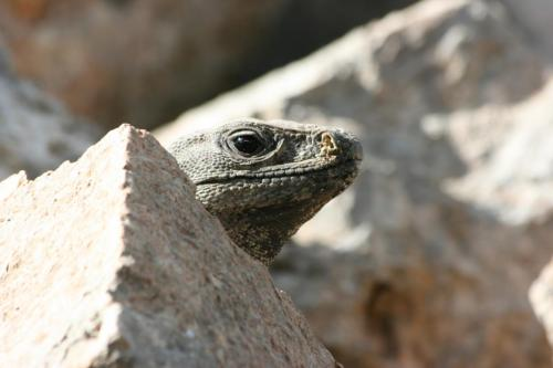 A not so little lizard hanging out between the warm rocks